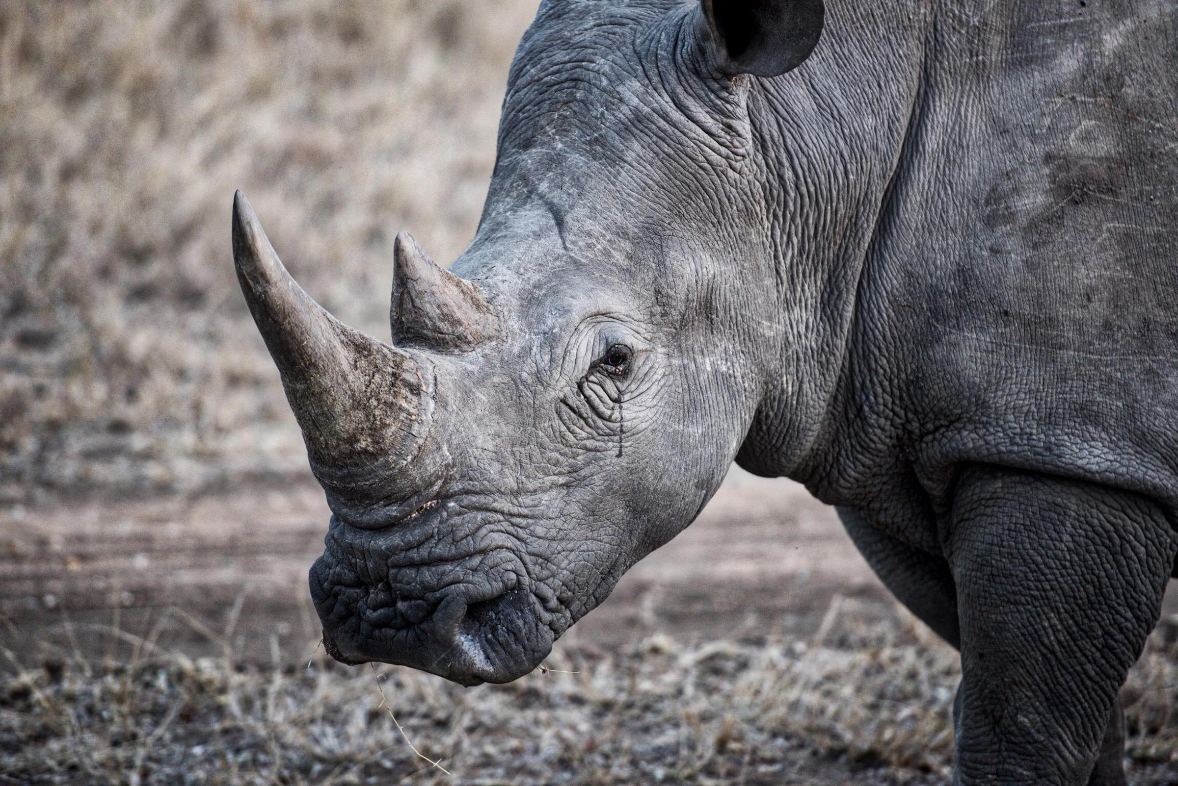 What Are Rhino Horns Made Out Of? - WorldAtlas