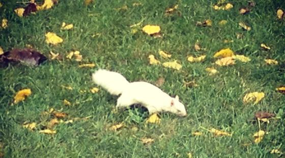 White squirrel in Loring Park, Minneapolis