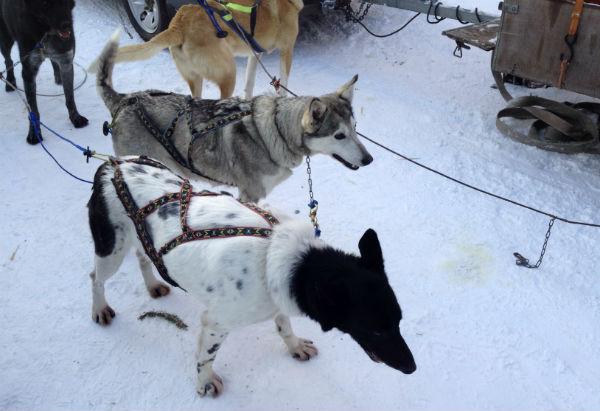 Huskies in Røros