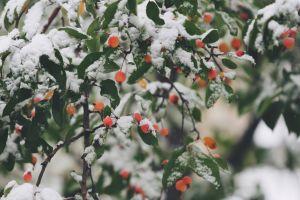 2015-02-Life-of-Pix-free-stock-photos-wild-berries-winter-snow-john-price