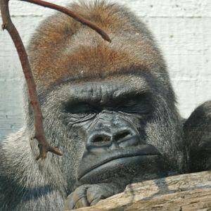 gorilla-969972_1280