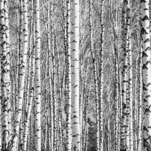 Birch grove on a sunny spring day, black-and-white