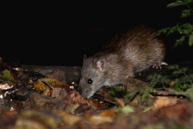 Brown rat foraging for food.