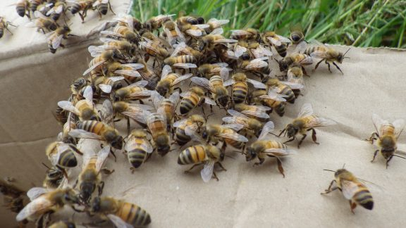 Honey bees ready to go into a hive