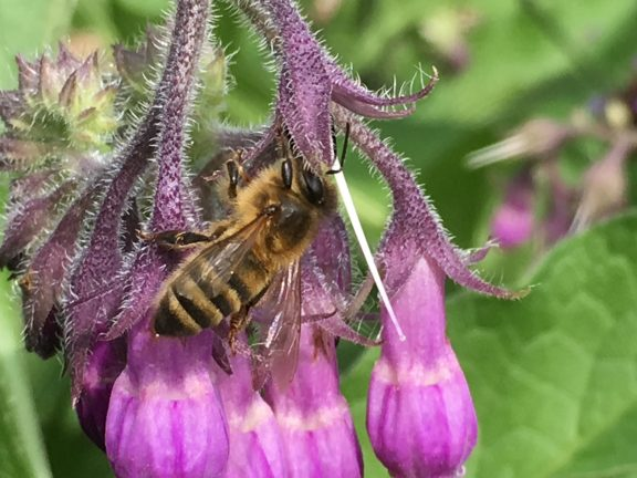 Feral Honey Bee on a flower.