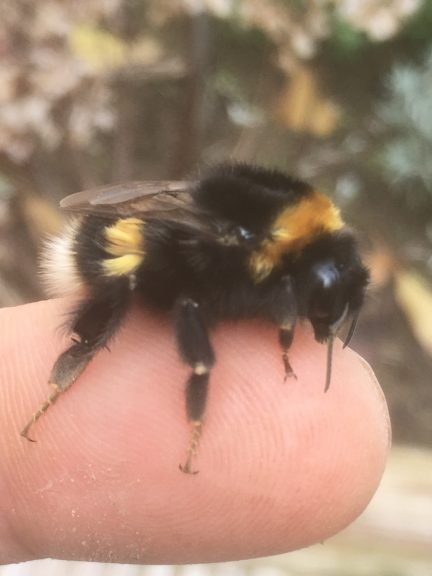 A white tailed bumble bee