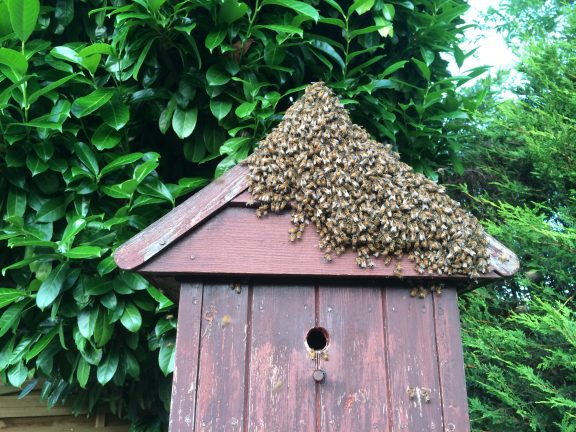 A honey bee swarm looking to home themselves in the bird box.