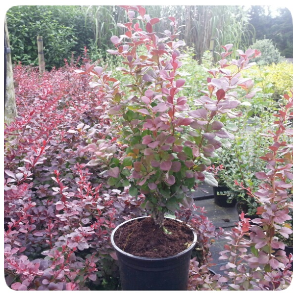 berberis thunbergii atropurpurea from beardsworths. Black Bedroom Furniture Sets. Home Design Ideas