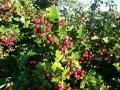 Best Native hedging plants