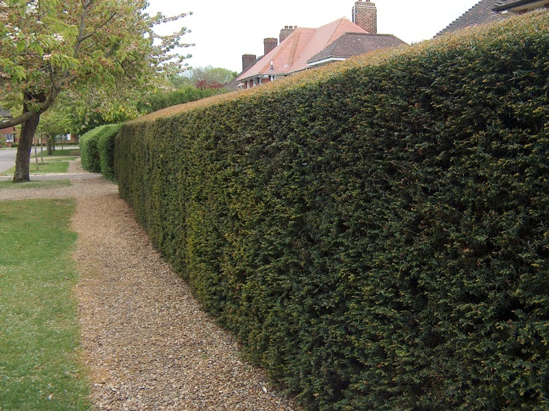 Introduced species and their habitats Yew-hedging