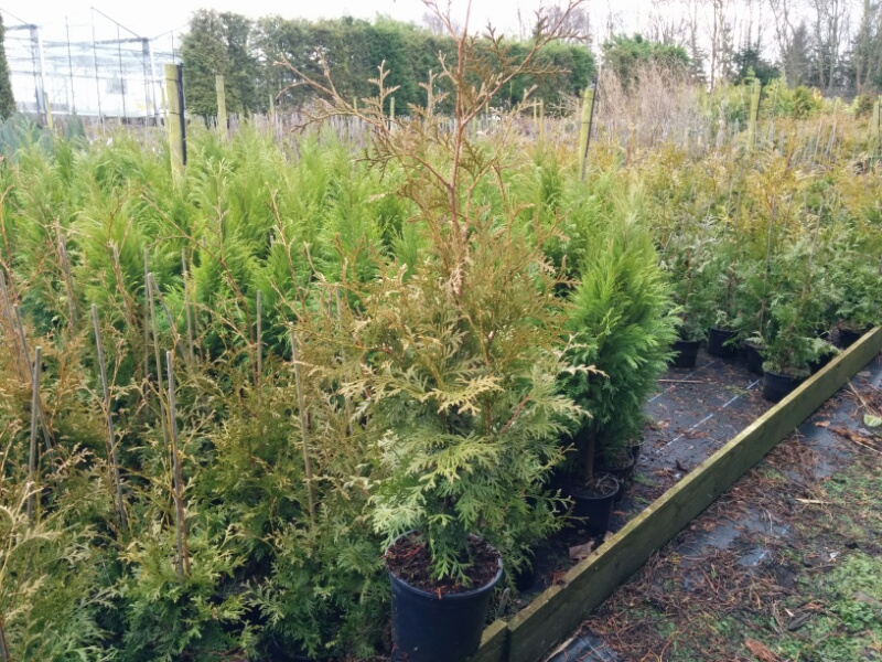 thuja occidentalis brabant 2l pot beardsworths nurseries garden centre. Black Bedroom Furniture Sets. Home Design Ideas