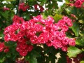 Crataegus Paul's Scarlet