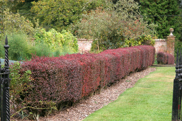berberis thunbergii atropurpurea bare root beardsworths. Black Bedroom Furniture Sets. Home Design Ideas