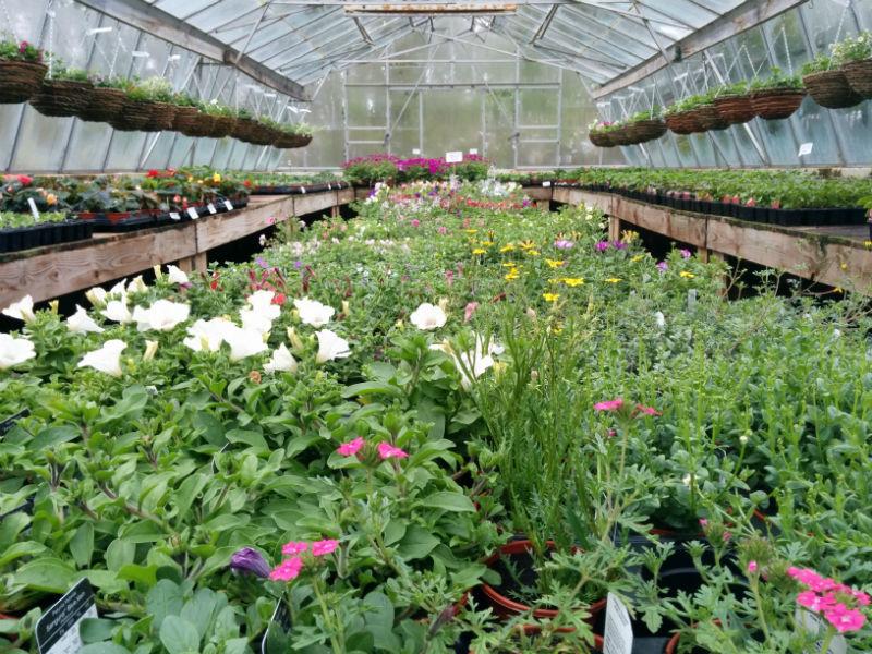 summer bedding plants available now from beardsworths. Black Bedroom Furniture Sets. Home Design Ideas