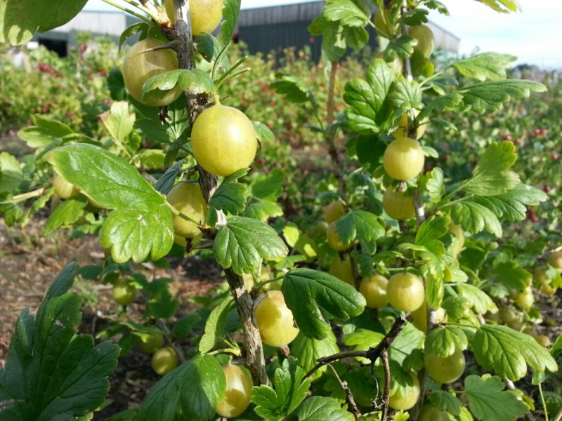 how to grow a gooseberry bush