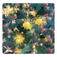 Yellow Flowered Shrubs