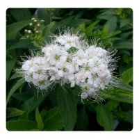 White Flowering Shrubs