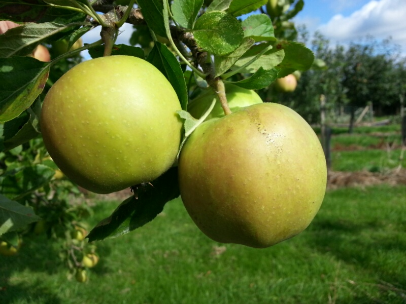 Apple Ellisons Orange