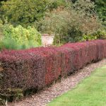 Best low maintenance hedging varieties
