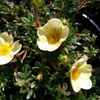 Potentilla Katherine Dykes flowers