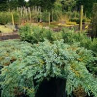 Juniperus Blue Carpet