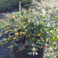 Cotoneaster Coral Beauty_0313