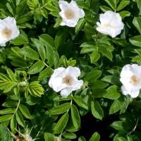 Rosa rugosa Alba