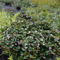 Cotoneaster Streibs Findling