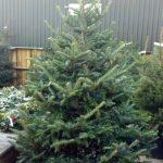 Frazer Fir Christmas Tree