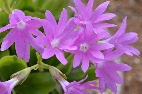 Alpine, Primula clusiana