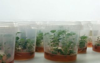 Micropropagation-multiplication