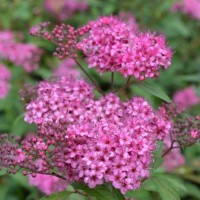 Spiraea Country Red
