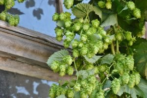 Does beer need hops