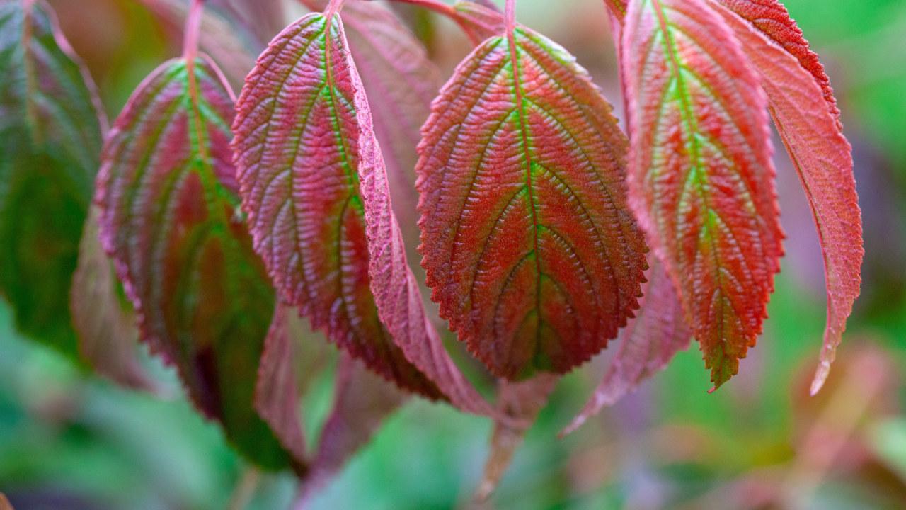Cercidiphyllum-japonicum-2_3840x2160_acf_cropped