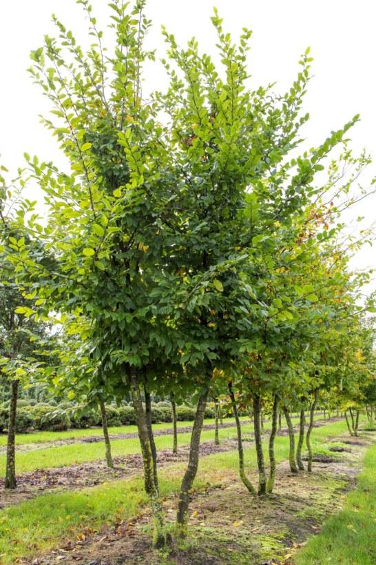 Carpinus-betulus-400450cm-2-1_1638x2456_acf_cropped