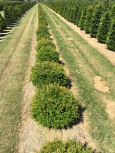 Taxus-baccata-dome-topiary-form-plants