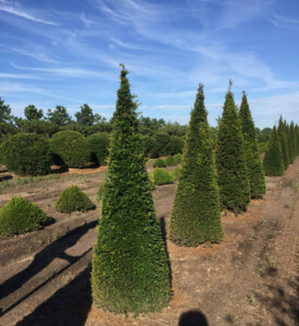 Taxus-baccata-yew-topiary-cone-form-plants
