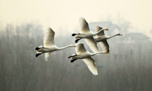https://s3-eu-west-2.amazonaws.com/cd.darkblue.staging/content/uploads/2020/05/20092206/D1W15B_Swan_at_Sanmenxia_dam.jpg