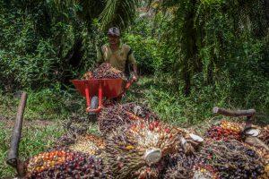 https://s3-eu-west-2.amazonaws.com/cd.darkblue.staging/content/uploads/2020/05/20092606/GP0STTNM7_Palm_Oil_farmer_in_Indonesia.jpg