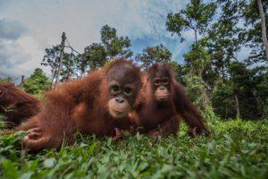 https://s3-eu-west-2.amazonaws.com/cd.darkblue.staging/content/uploads/2020/05/20092612/GP0STQFO0_Web_Orangutans_in_Indonesia.jpg