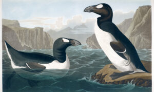 https://s3-eu-west-2.amazonaws.com/cd.darkblue.staging/content/uploads/2020/06/18134733/194-195-Great-Auk-e1592498944826.jpg