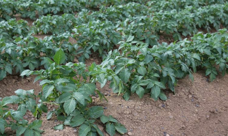 New GB seed potato varieties accredited for Kenya
