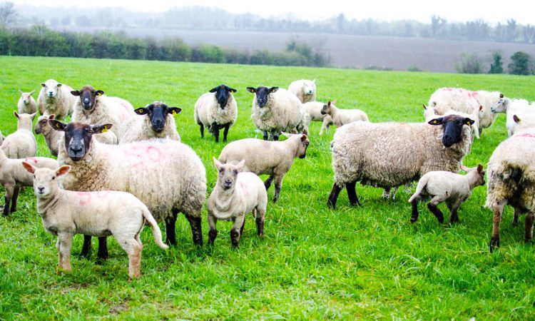 This year's lambs at risk from nematodirus much earlier