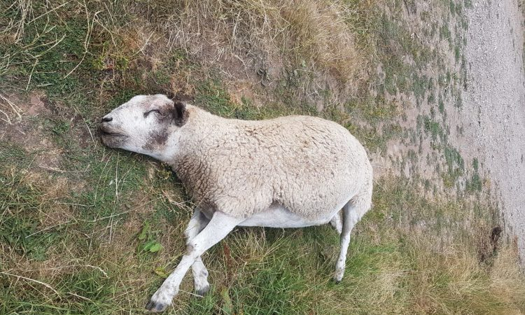 Colton family's pet ram killed in the field