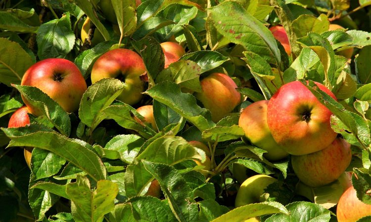16 million apples go unpicked as UK horticulture suffers seasonal worker shortages