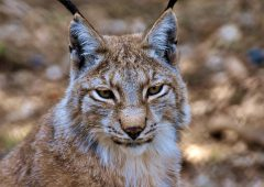 NSA highlights the risk of reintroducing lynx into the UK