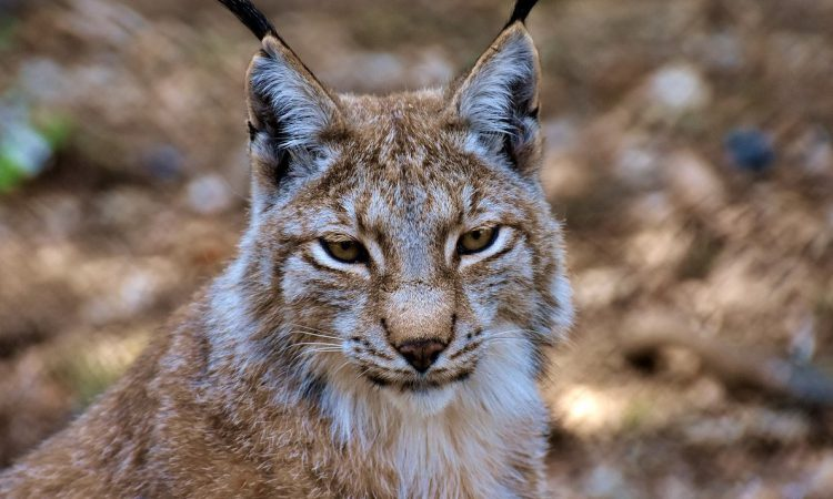 Government rejects Northumberland lynx reintroduction