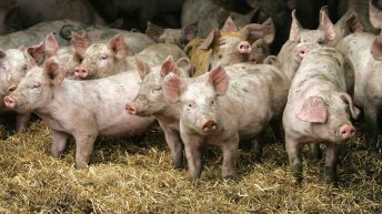Scottish pig sector grows to largest in almost a decade