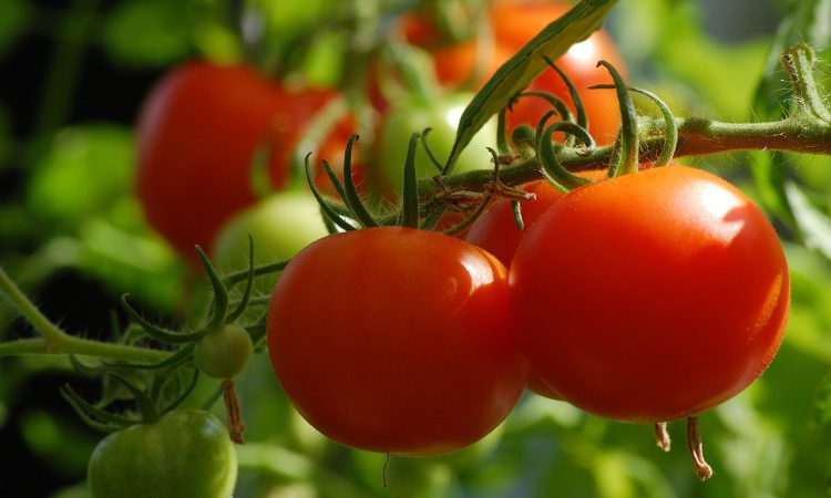UK growers urged to be on lookout for new tomato virus