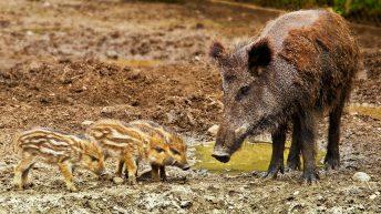 African Swine Fever: 2 cases confirmed in Belgium